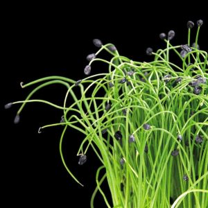 Micro Chives (Cut)