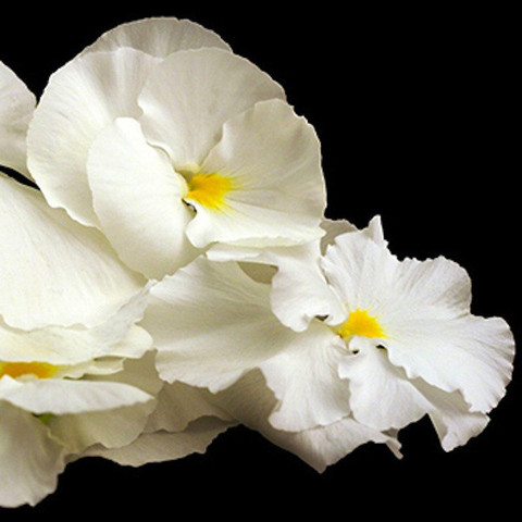 Edible white flowers white pansy flowers slightly minty slightly pansy flower white spectrum mightylinksfo
