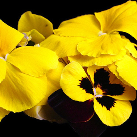 Edible Pansies Yellow Pansy Flowers Slightly Minty Slightly Sweet